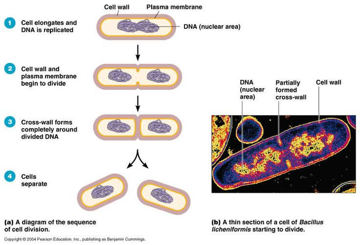 Bacteria Reproduction- Binary Fission
