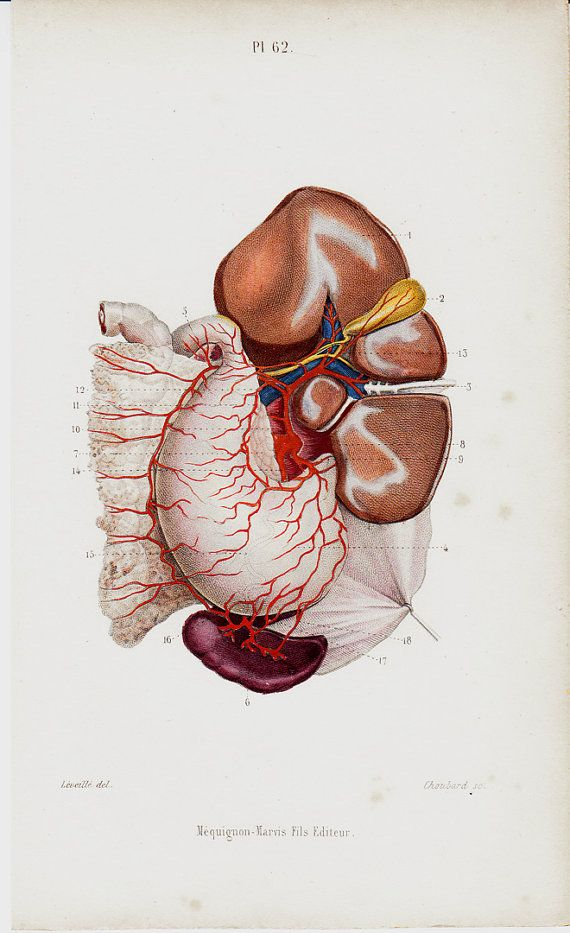 1843 Antique ANATOMY print, Angiology, LIVER, Celiac artery, stomach1, pancreas, 170 years old print