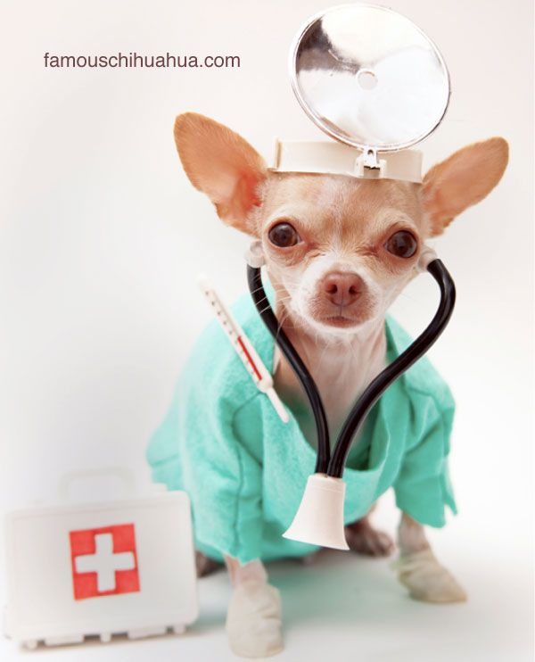 The doctor is in! symptoms and signs of a sick chihuahua: when to see a veterinarian!