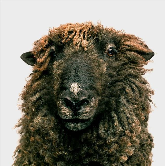 Retrato de ovelha por Vincent J Musi