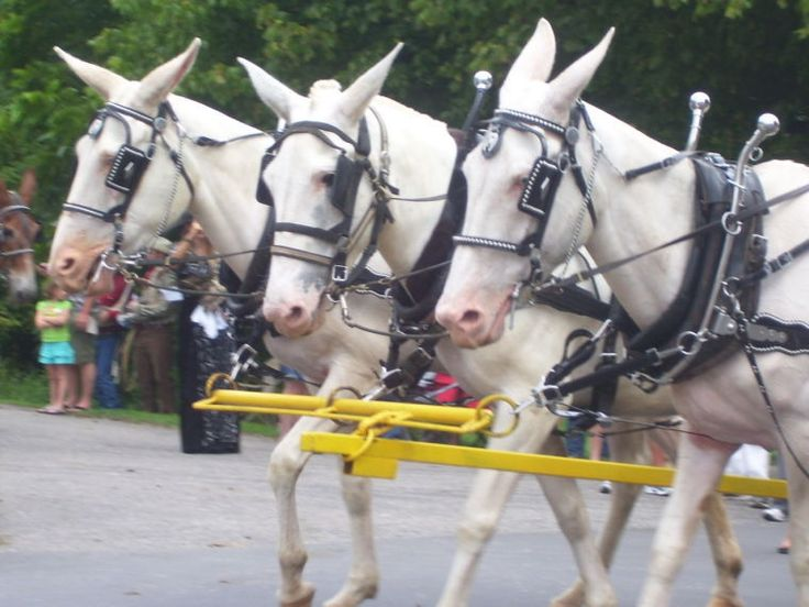 Mules ! Oh, My! - The Pilot Newspaper: News