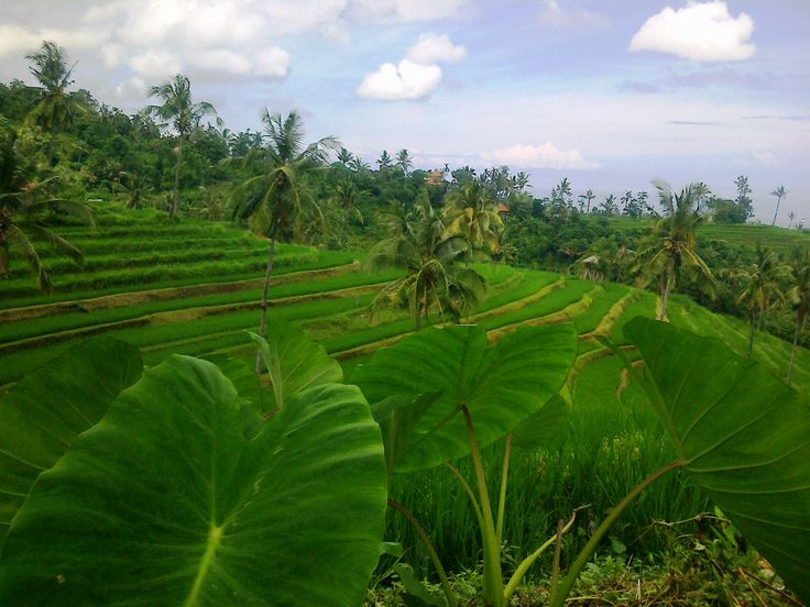 Rice field, Buleleng, Panji. North Bali Indonesia