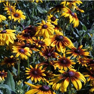 Gloriosa Daisy Seeds  1/4 Pound Price:$7.95  Perennial form of our native Black-Eyed Susan with giant flowers in bicolors, doubles. Great color. Perennial.