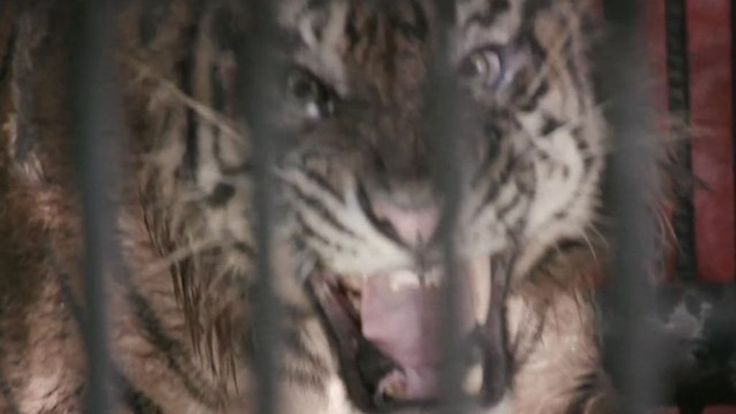 A rescue centre in Indonesia is trying to rescue Sumatran tigers and save the species from extinction.