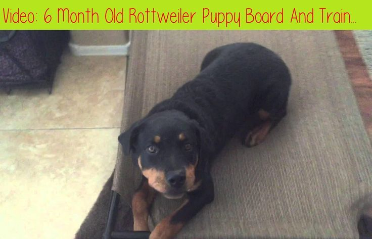 6 Month Old Rottweiler Puppy Board And Train Before And Afterlayla Is A 6 Month Have A New Puppy Or D Rottweiler Puppies Rottweiler Dog Training Obedience