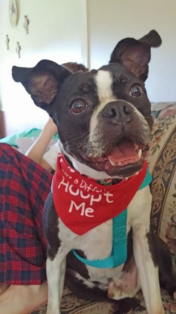Hershey is a 4 yo neutered big strapping boy weighing in at 40 lbs! He is a lively high-energy boy who doesn't have much experience with other dogs