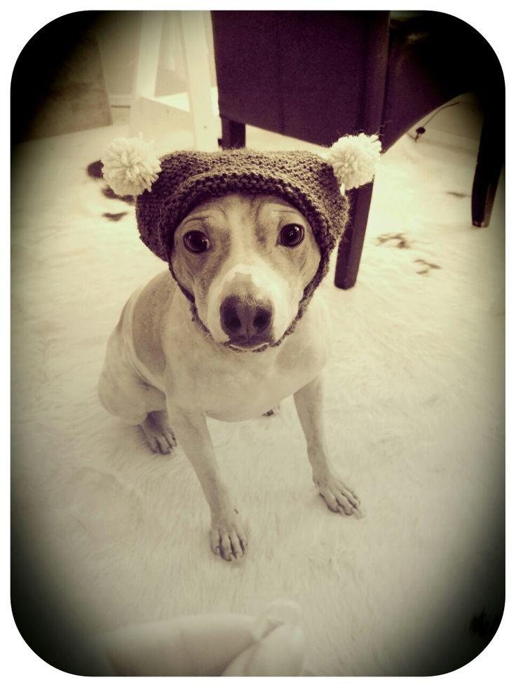 Stitch, American Hairless Terrier