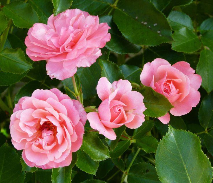 Les 259 meilleures images du tableau rosiers sur pinterest arbuste astuce jardin et au jardin - Comment multiplier un rosier ...