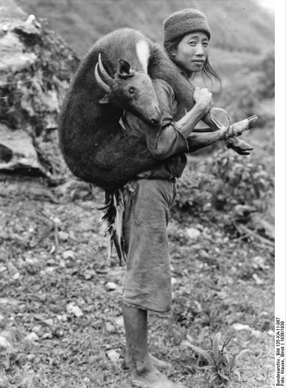 File:Bundesarchiv Bild 135-KA-11-067, Tibetexpedition, Tibeter mit erlegtem Goral.jpg Original caption Tibetexpedition, Tibeter mit erlegtem Goral Goral Depicted place Tibetexpedition Date 1938 Photographer Krause, Ernst