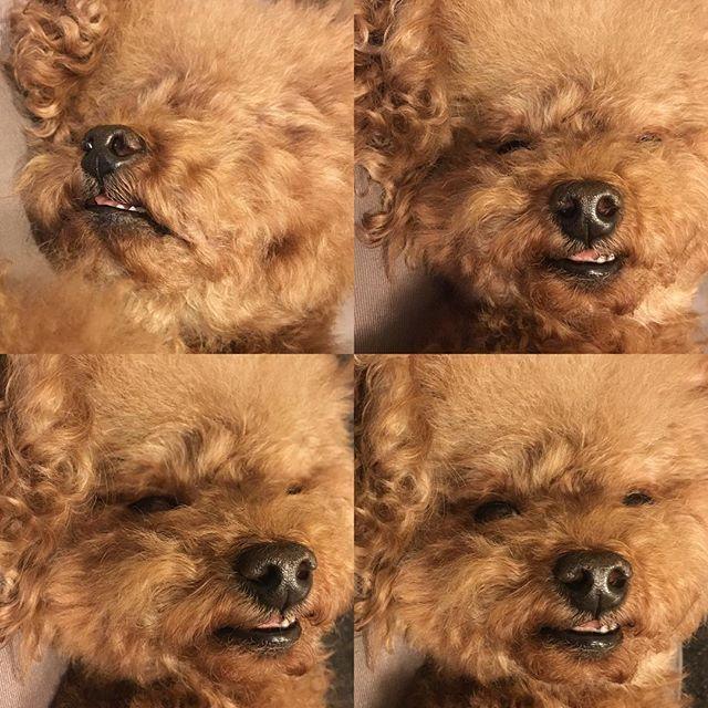 口が閉じきれず👄#なかなかなブサイク顔 . #お風呂入れたら #毛が爆発💣💥 . . . . #ふわもこ#トイプードル#toypoodle#レッド#dog#dogstagram#animal#love#cute#pet #愛犬#犬倶楽部#犬好き#動物#photo#life #変顔#お風呂#毛もじゃ#🐕#🐶#🐩#🐾