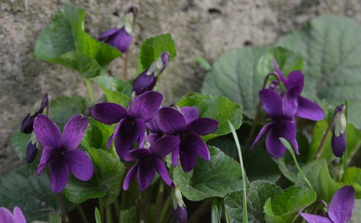 Wilde violets