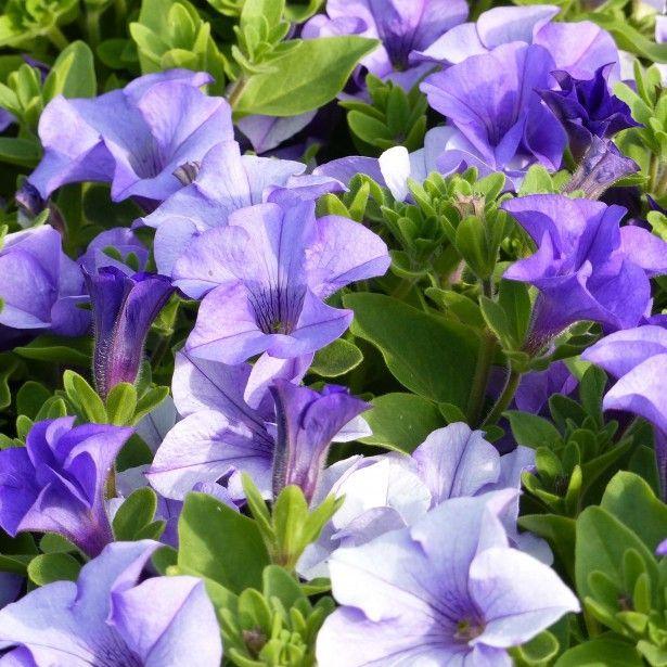 Petunia Surfinia Heavenly Blue Le Meilleur Petunia Retombant A
