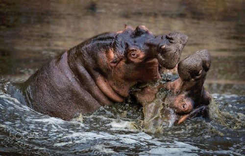 hippo fight 22 | Source