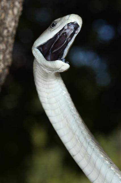 The fascinating Black Mamba. This is where he gets his name. The inside of his mouth is black.