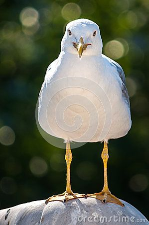 Sea gull looking. Close-up of a seagull (family Laridae).