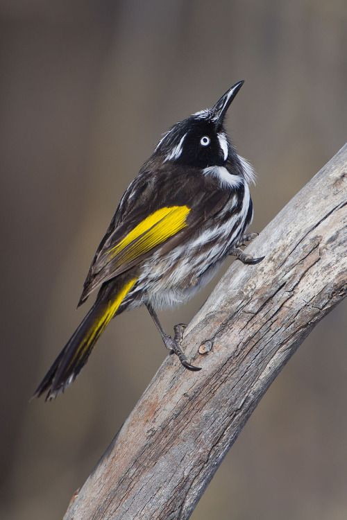 New Holland Honeyeater - Phylidonyris novaehollandiae (meliphagidae)