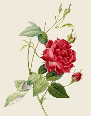Image: Rose by Pierre Joseph Redoute.