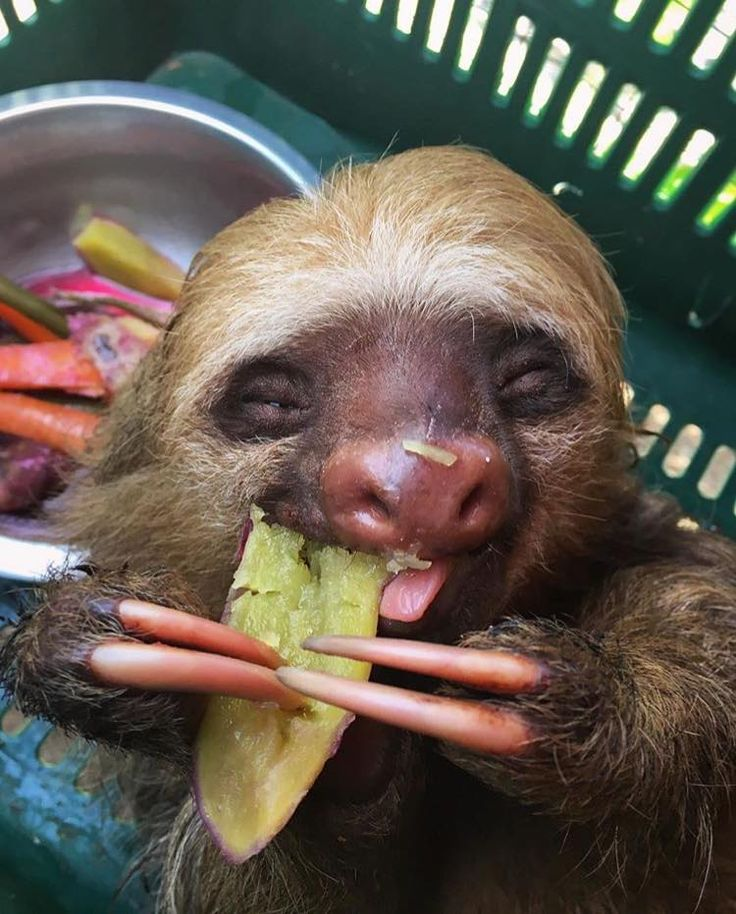No Animals Have Ever Been Happier Than These Rescued Sloths Eating Snacks!