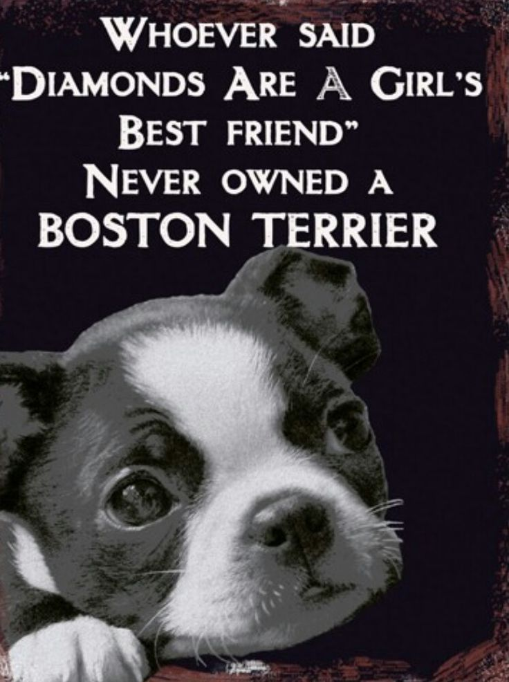 Boston Terriers are more precious and more valuable than diamonds.