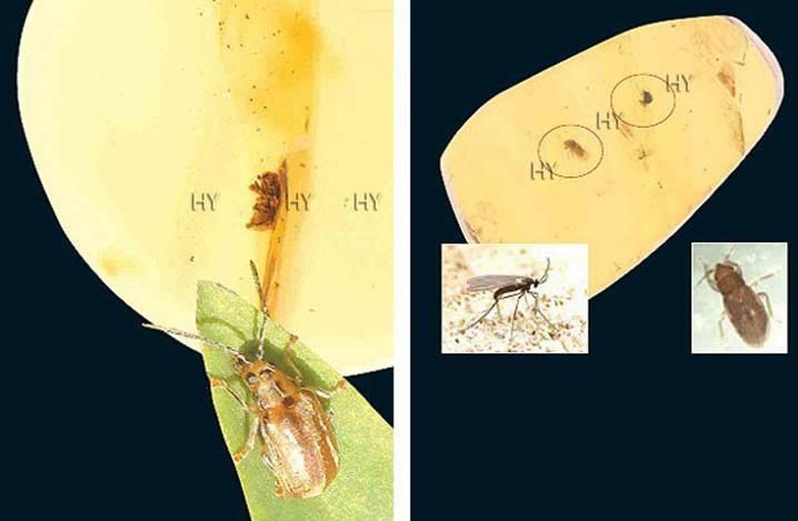 Yaprak Kınkanatlısı (yukarıda solda)     Dönem: Senozoik zaman, Oligosen dönemi  Yaş: 25 milyon yıl  Bölge: Dominik Cumhuriyeti  Sıçrayan Zemin Böceği, Gal Sineği (yukarıda sağda)     Dönem: Senozoik zaman, Oligosen dönemi  Yaş: 25 milyon yıl  Bölge: Dominik Cumhuriyeti