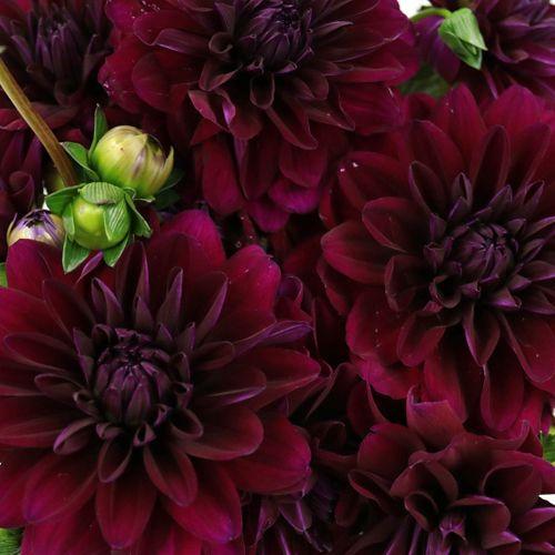 Burgunder Berry Dahlia Flower   – White Wedding