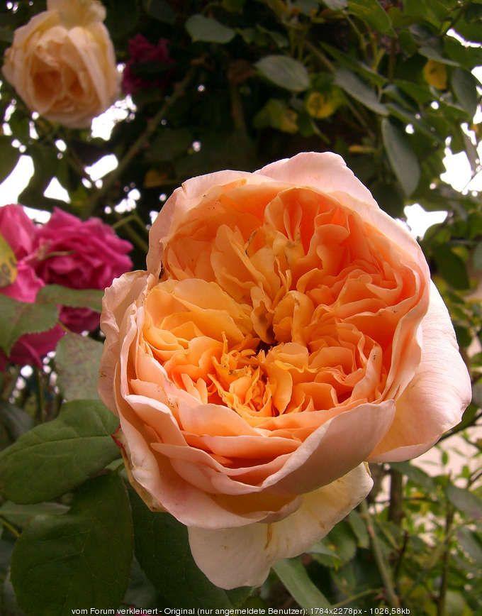 Rose 'Papi Delbard'