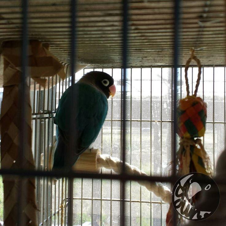 They had a lot of fun. 僕たちはたくさん遊んだあとはお外を見てからお昼寝するんだよ . Have a nice day . 蜷川さんが亡くなられてとても残念です まだまだ彼の演出作品を見たかったです ご冥福をお祈りします . #goodmorning #parakeet #Parrot #agapornis #bird #lovebird #animal #lovebirdsofinstagram #Instabird #parrots_life#instagood #WeeklyFluff #kawaii #love #JAPAN #igersjp #インコ #鳥 #コザクラインコ #ラブバード #ボタンインコ  #모란앵무 #ふわもこ部 by yun_nek0 http://www.australiaunwrapped.com/