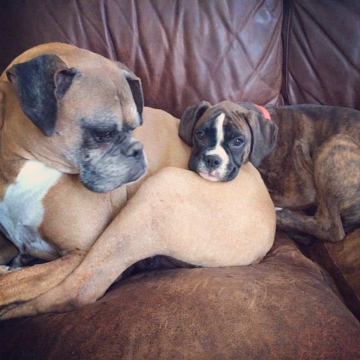 Two Boxers; one a Boxer puppy.