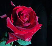 flores y colores :D: Tipos de flores y sus significados: manifiestan simpatía, agradecimiento y cercanía. Es la flor por excelencia del cortejo.
