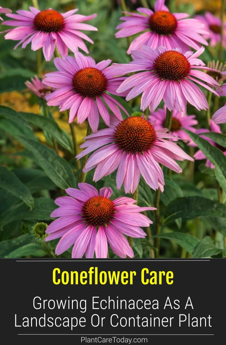 Coneflower Care Growing Echinacea In The Landscape Or As A Container Plant In 2020 Container Plants Plants Echinacea