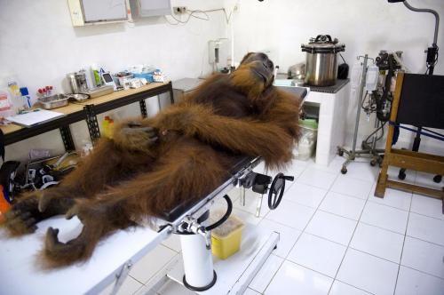 Il World Press Photo 2015 premia la foto di Angelo, uno degli ultimi oranghi d'Indonesia simbolo dell'oppressione per l'olio di palma mentre giace ferito in attesa di visita medica #worldpressphoto #orango #olio di palma #palmoil