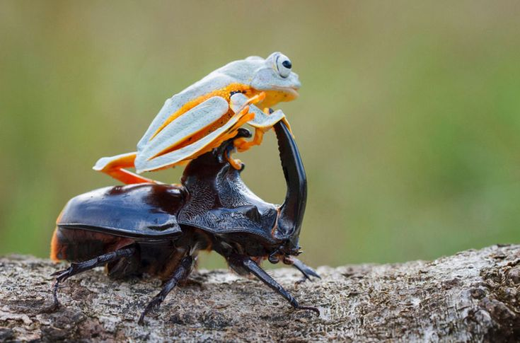 frog-riding-beetle-hendy-mp-7 Froggy went-a-courting he did go but ended up with a hoorny toad of a beetle ah um ah ummmmm