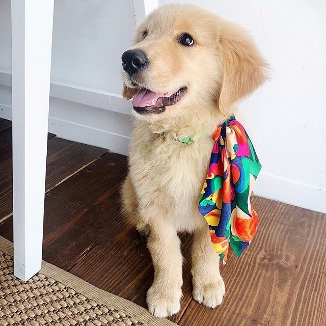 Even The Cutest Puppies Are Rocking Our New Now Hair Accessories Dog Friends Cute Puppies Golden Puppy