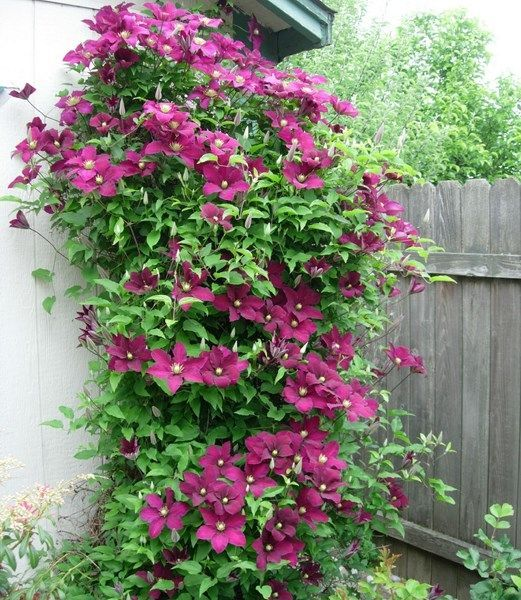17 best images about gardening clematis on pinterest gardens sun and edinburgh. Black Bedroom Furniture Sets. Home Design Ideas