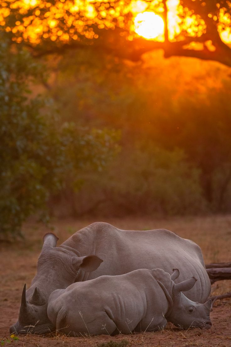 Sunrise Rhino - I get emotional each time I see a Rhino these days. I cannot help but think that tomorrow they may not be around. Poaching problems are causing a species to head steadily towards extinction. SPEAK UP PEOPLE, SPREAD THE WORD. WE need to make everyone aware of their plight. 2014 and 2016 saw 2500 of these animals killed, more than 10% of the total population at the start of 2014.