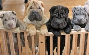 Living with a Chinese Shar-Pei