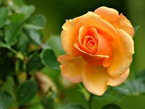 gambar cara menanam mawar cantik image