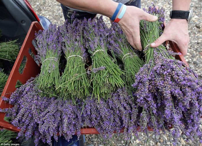 Growing and harvesting lavender..Love lavender, the way it looks. the way it smell. And the directions say I can grow it on my small patio.