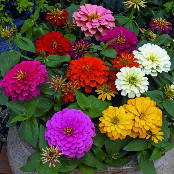 Картинки однолетников цветов