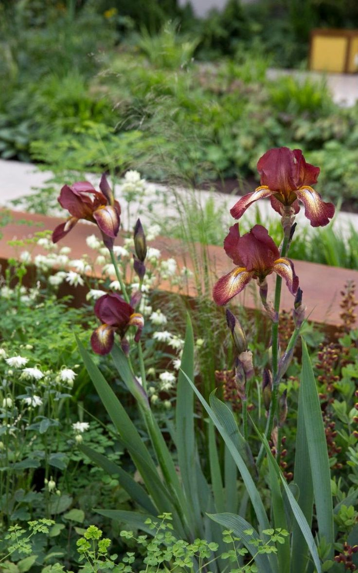 Irises in the Vestra Wealth's Garden of Mindful Living designed by Paul Martin