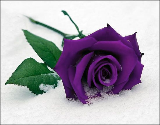 17 Best images about purple roses on Pinterest | Barbra streisand ...