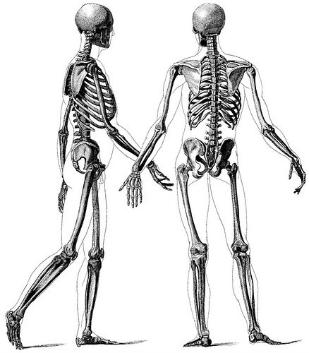 only best 25+ ideas about human skeleton images on pinterest, Skeleton