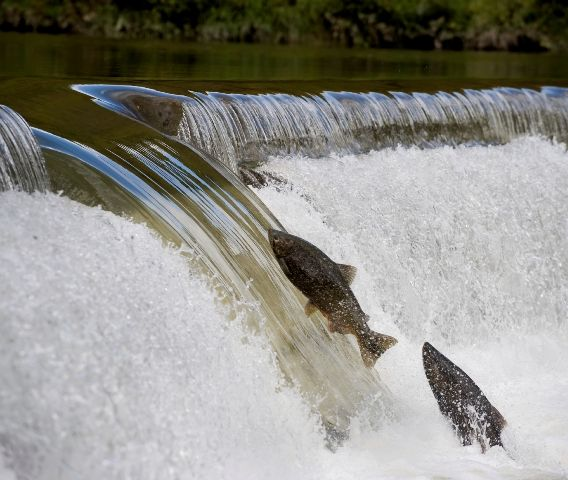 Salmon cannon shoot fish over hydroelectric dams - Electronic Products
