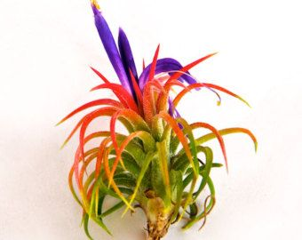 Ionantha Mexican Air Plants - 30 Day Air Plant Guarantee - Spectacular Blooms - Fast Shipping - Tillandsia Air Plant