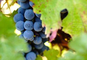 Red wine icecream at Somerbosch Wines