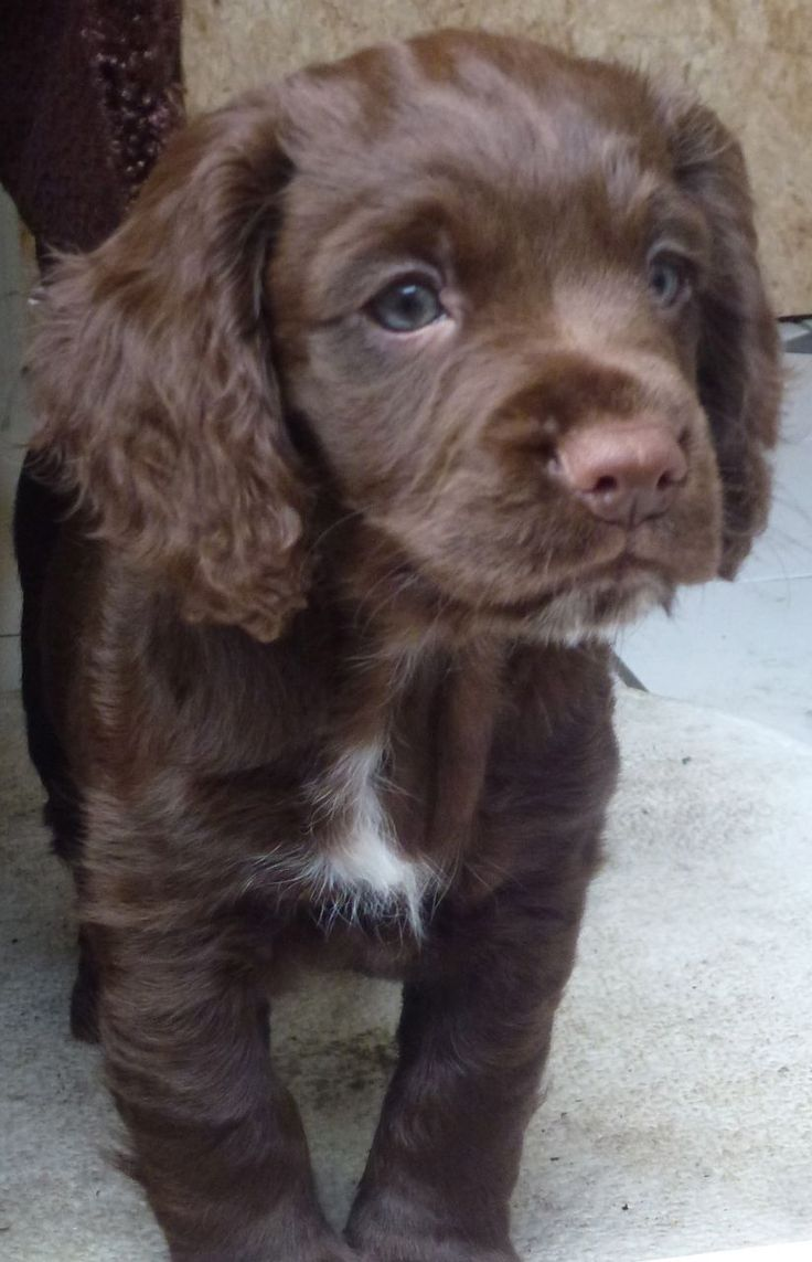 Chocolate Brown Working Cocker Spaniel Puppy Spaniel Puppies