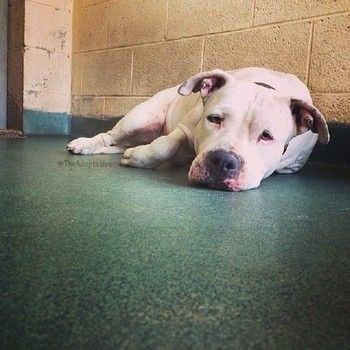 NOW CODE RED!!! MIAMI!!!! Lara A two-year-old American bulldog is losing hope behind the bars of her kennel run at the Miami-Dade Animal Services facility in Florida, where she has been held since the first of May.   ID#A1696231 https://www.facebook.com/MiamiShelterBigBulliesBlackBeenArounddogs/photos/a.1068843856477304.1073741903.470632062965156/1107420702619619/?type=1&theater