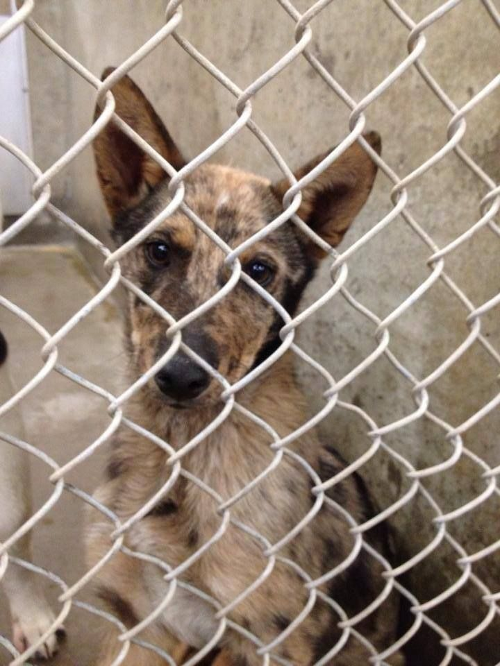 **ON THE LIST TO DIE TUESDAY 4/22** Catahoula/Shepherd
