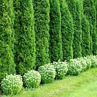 "Emerald Green Arborvitae  Note the plantings in front of the arborvitae to help hide the ""feet""."