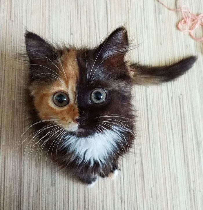 Meet Yana, The Two-Faced Kitty Whose Parents Ran Out Of Ink | Bored Panda